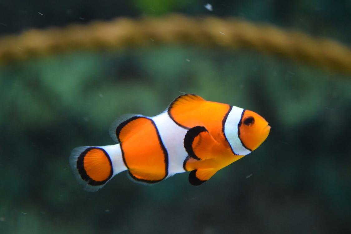 Description: Clown Fish Swimming