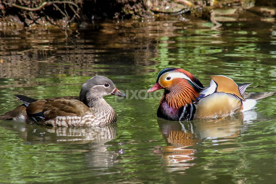Mandarin pair by Garry Chisholm - Animals Birds ( bird, garry chisholm, nature, mandarin, duck, wildlife )