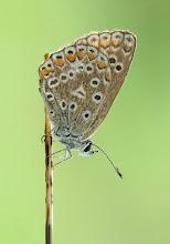 Photo: Polyommatus Icarus, Argus Bleu , Common Blue  https://www.facebook.com/max.dodema.9
