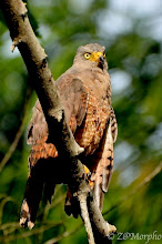Photo: Roadside Hawk @ Bosque del CaboLodge, Osa Peninsula