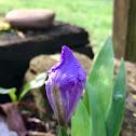 Dwarf Crested Iris (bud)