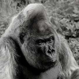 Smile.......WHY !!  by Ralph Harvey - Black & White Animals ( nico, gorilla, wildlife, ralph harvey, longleat, animal )