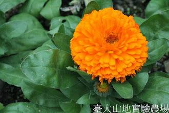 Photo: 拍攝地點: 梅峰-溫帶花卉區 拍攝植物: 金盞花 拍攝日期: 2013_12_20_FY