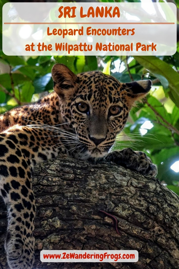 Leopard Encounters at the Wilpattu National Park, Sri Lanka