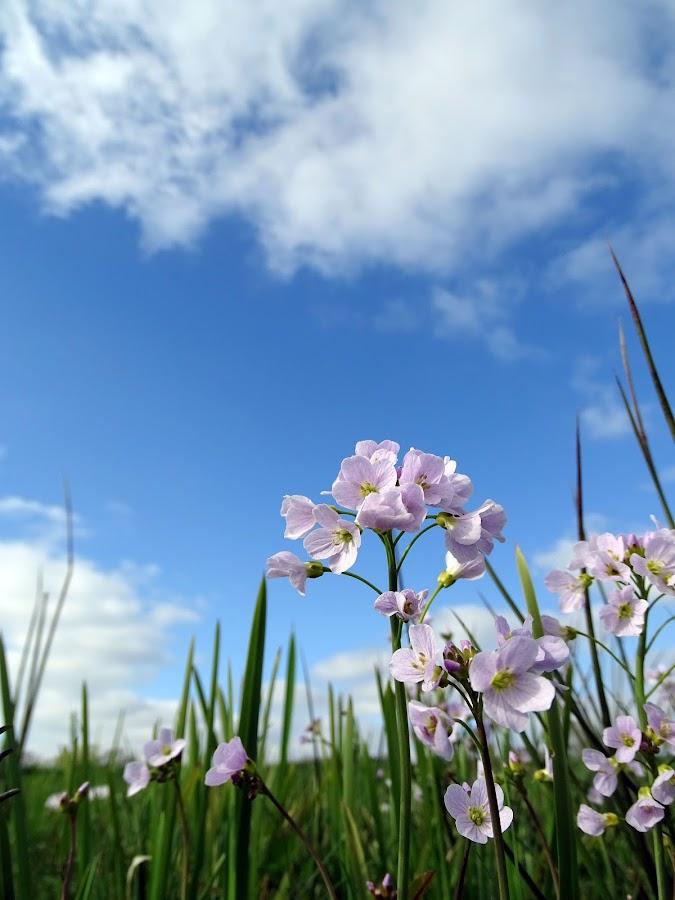purple flowers by Joyce Dales - Flowers Flowers in the Wild