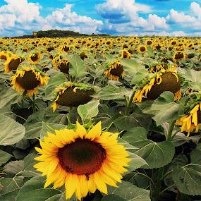 Sunflower fantasy by Milan Milosevic ヅ - Nature Up Close Other plants ( fantasy, clouds, sky, nature, flora, blue, plants, sunflower, landscape,  )