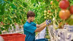 Un joven agricultor comprueba la calidad de una cosecha de tomate.
