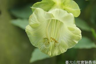 Photo: 拍攝地點: 梅峰-溫帶花卉區 拍攝植物: 電燈花(白) 拍攝日期: 2015_11_13_FY