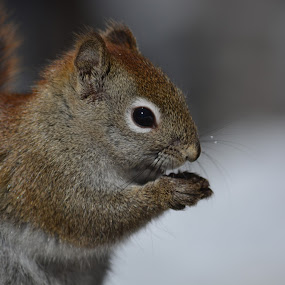 squirrel by Char Robertson - Animals Other ( eating, seeds, brown and red, cute, squirrel )