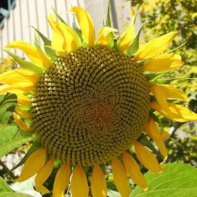 Sunnie  by Sherry Gardner - Flowers Single Flower ( yellow, flowers, sun,  )