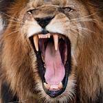 Lion Sounds
