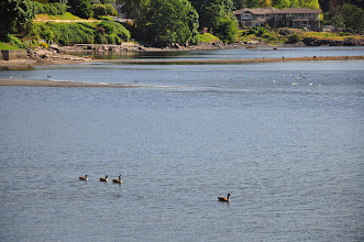 Photo: Geese ply the waters of Departure Bay