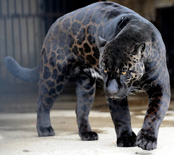 "Photo: GEORGIA-ANIMALS-JAGUAR...A black jaguar called ""Boogie"" walks in his cage at the zoo in Tbilisi on February 10, 2010. Black jaguars such as Boogie are found in several South American countries.   AFP PHOTO / VANO SHLAMOV (Photo credit should read VANO SHLAMOV/AFP/Getty Images)˪"