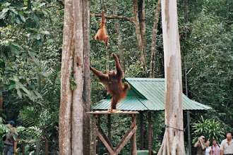 Photo: #022-Kuching-Le parc national-Orang-Outan