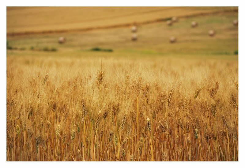 Campi di grano di Saragypsy