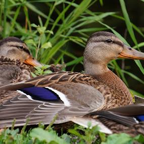 American Black Ducks by Joe Spandrusyszyn - Animals Birds ( bird, anas rubripes, duck, dabbling duck, american black duck, animal,  )