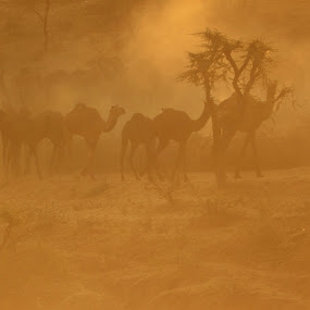 Camels at Pushkar Festival by Udhay Krishnamurthy - Travel Locations Landmarks ( india )