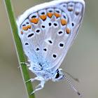 Common Blue; Dos puntos