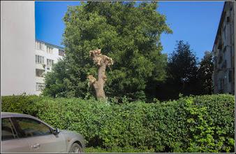 """Photo: Arțar tătăresc (Acer tataricum) - de pe Str. Rapsodiei, intre blocuri, vedere din parcare - """"tuns chilug"""" - 2017.07.27"""