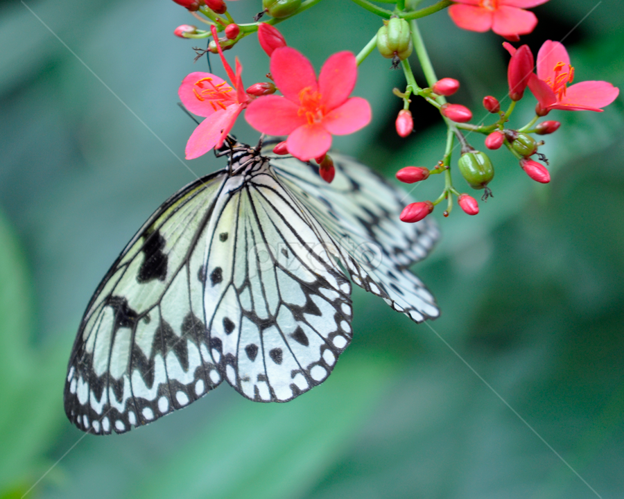 Hanging on to a red flower by Keith Sutherland - Animals Insects & Spiders ( flower butterfly nature natural  closeup )