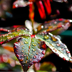 Raindrops.. by Edit Peterffy - Nature Up Close Leaves & Grasses ( lights, nature, edit, raindrops, leaves )
