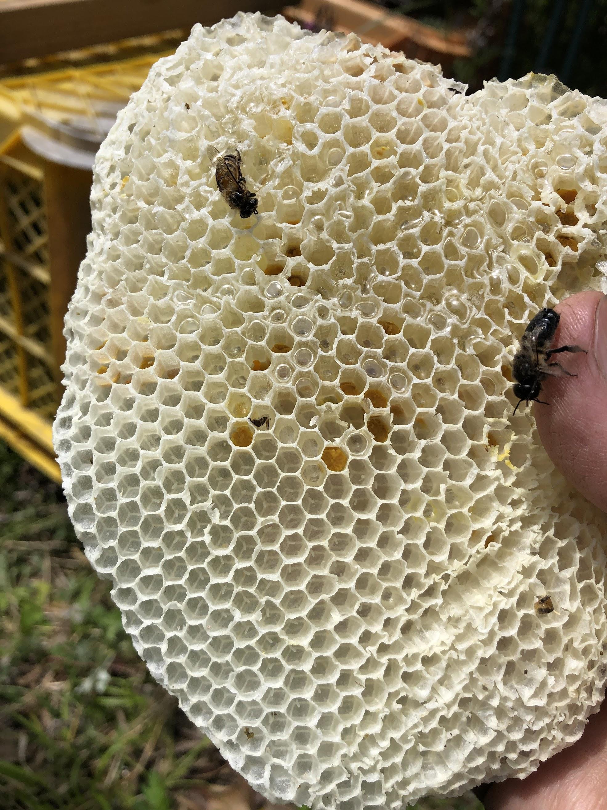 ニホンミツバチ,産卵