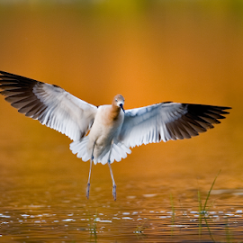 Landing by Dan Pham - Animals Birds (  )