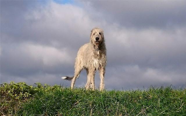 Scottish Deerhound Themes & New Tab