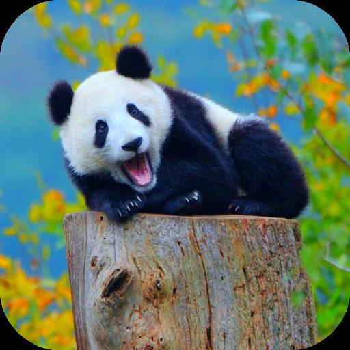 Panda Wallpaper with Effect