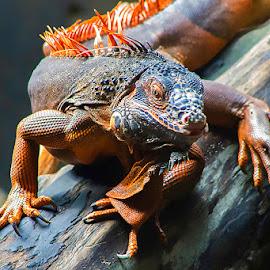 Curious by Yohanes Arief Dewanto - Animals Reptiles ( iguana, reptile iguana animals reptile, reptile iguana, reptile, reptile iguana animals, reptile iguana animals reptile wilderness )