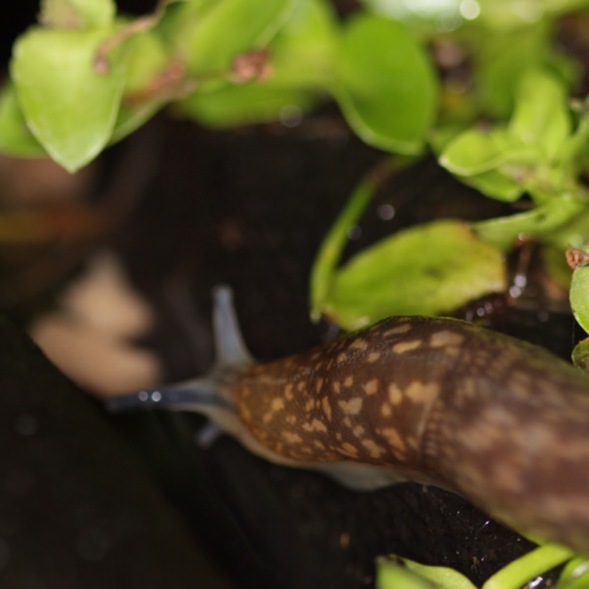Tawny Slug