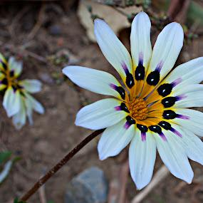 COLORS by Nihan Bayındır - Flowers Flower Gardens ( love, macro, nature, daisies, lovely, flowers,  )