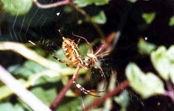 Photo: L'accouplement des araignées Epeires fasciées dans un buisson. Le coït est très bref et le mâle, quand il le peut, à juste le temps de s'échapper avant d'être dévoré ; mais ce n'est pas toutefois une règle dans la nature. Le mâle est minuscule par rapport à la femelle comme on le voit.