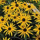 https://www.vitroflora.pl/img/produkty/rosliny/_137X137/byliny-i-trawy_rudbeckia-rudbekia_72949_2.jpg