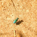 Six- Spotted Tiger Beetle