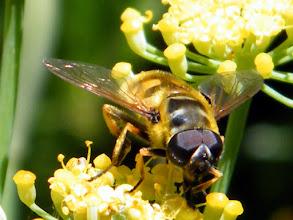 """Photo: L'Eristale des fleurs """"Eristalis florea"""" sur fleur d'aneth. Mai.  La larve vit dans les eaux sales et fosses d'aisance et l'imago vit sur les fleurs !"""