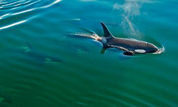Photo: Five Orcas