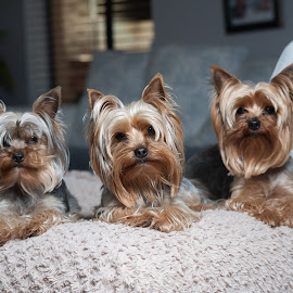 The furbabies by Jaycee Reynolds - Animals - Dogs Portraits ( doggy, portrait, dog, dog portrait, flash,  )