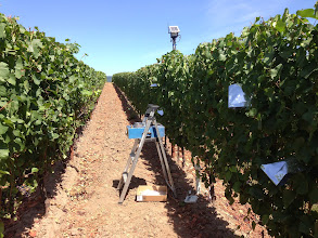 Photo: Mid-day stem water was measured weekly, on vines flanking the target vine.
