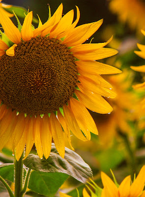 Girasole van Gogh solrosor  di Bibanto