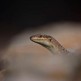 Looking at me? by Kristijan Matulić - Animals Reptiles ( gušter, reptil )