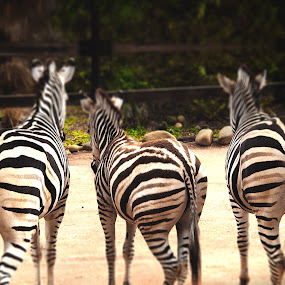 3 sexy zebras back view by Emily Fnm3d - Animals Other Mammals ( aciculum, rear view, in a row, hoofed mammal, the end, natural pattern, sunlight, tail, mammal, three animals, zoo, pattern, nature, concepts and ideas, outdoors, fur, striped, humor, zebra, animal, travel locations, grevy's zebra )