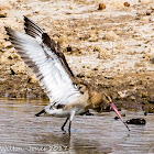 Black-tailed Godwit; Aguja Colinegra
