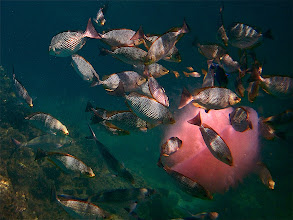Photo: a school of Java rabbitfish feeding on a dying pink jellyfish, Koh Koo