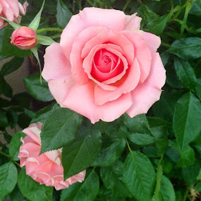 by Darla Grumbles - Flowers Flower Gardens (  )