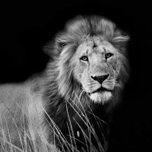 Lion BW.jpg