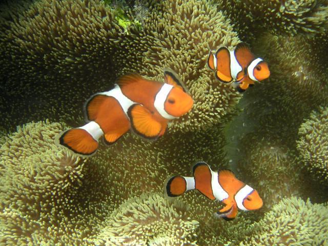 Clown fish atau lebih dikenali sebagai nemo.