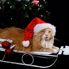 Santa Cat by Sondra Sarra - Public Holidays Christmas ( orange, cat, pwcholidays, green, furry, white, christmas, hat, lights, fluffy, tree, santa, black )