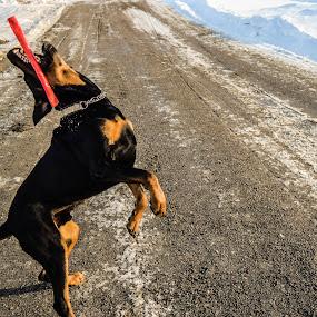 Stickin` around by Ricky Friskilæ - Animals - Dogs Playing