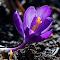 Purple Crocus 25 02 18.jpg